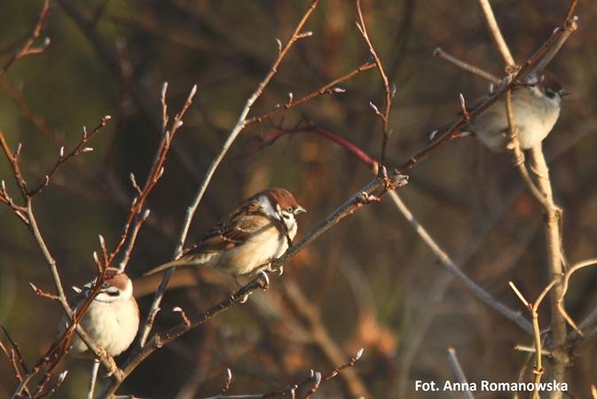 Wybrałeś obraz z artykułu: Listopadowe liczenie ptaków