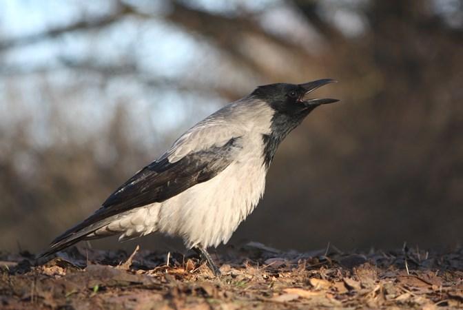 Wybrałeś obraz z artykułu: Wrona siwa - typ indywidualisty